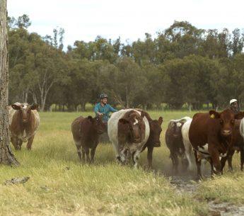 Curtis Stone on Stuart McCormack's farm - Harvey Beef
